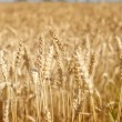 Crop field - Stock Photo