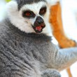 Lemur catta on a tree - Stock Photo
