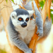Stock Photo: Lemur catton tree