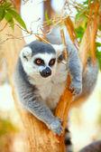 Lemur catta on a tree — Stock Photo