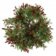 Top view of bottlebrush tree isolated on white background — Stock Photo