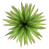 Top view of mountain cabbage palm tree isolated on white background — Stock Photo
