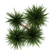 Top view of yucca palm tree isolated on white background — Stock Photo