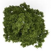 Widok z góry drzewa klonowego pole na białym tle — Zdjęcie stockowe