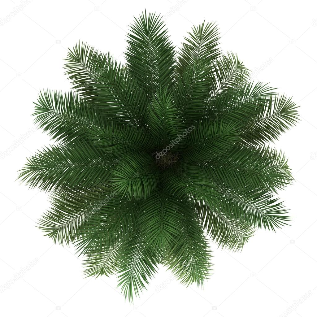 Top View Of Chilean Wine Palm Tree Isolated On White