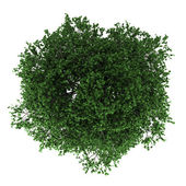 Top view of hornbeam tree isolated on white background — Stock Photo