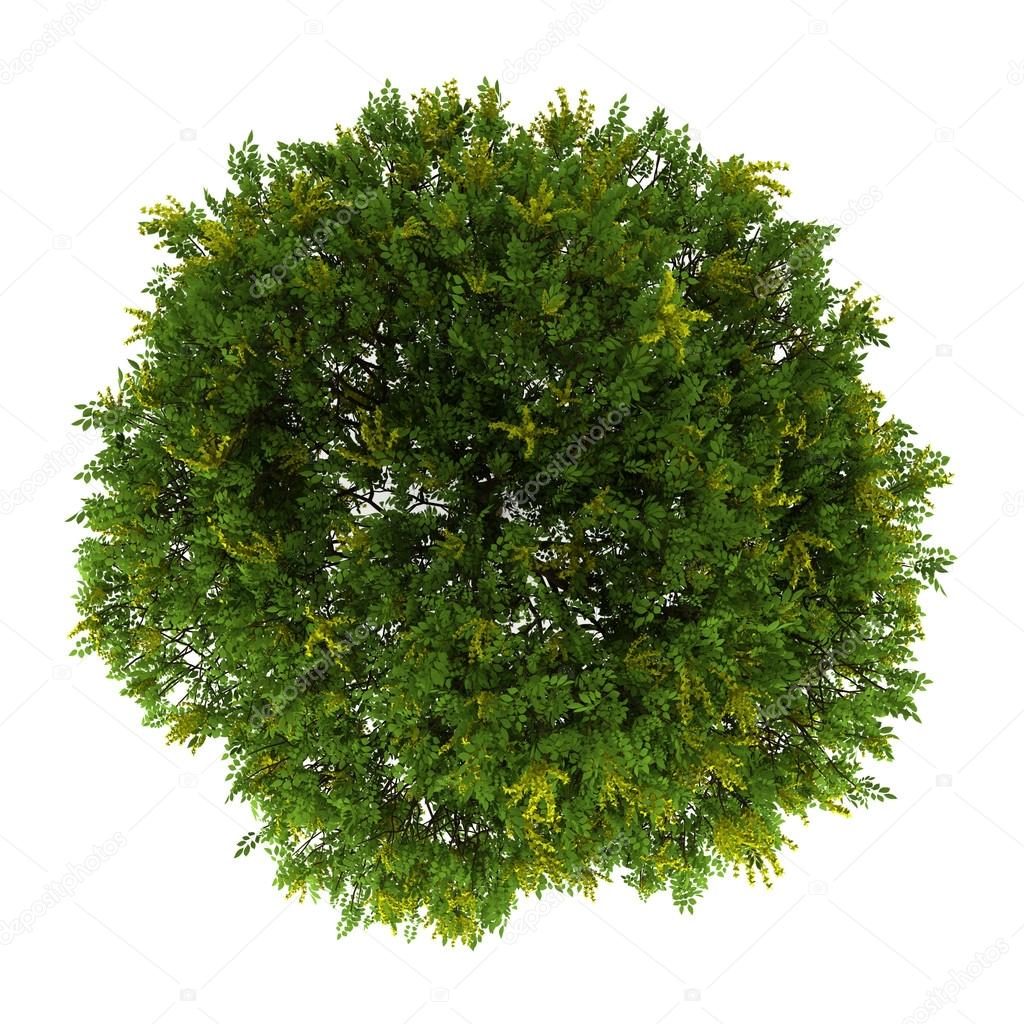 Top view of goldenrain tree isolated on white background — Stock Photo #12647659