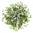 Top view of willow tree isolated on white background - Stock Photo