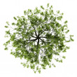 Top view of willow tree isolated on white background — Stock Photo