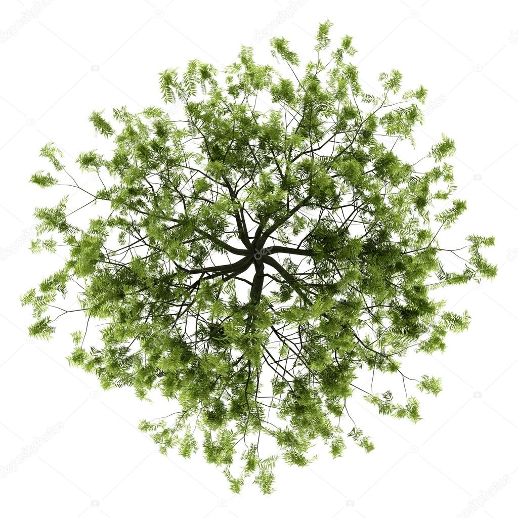 Top view of willow tree isolated on white background  Stock Photo #13166637