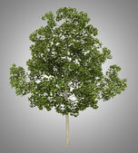 Acer platanoides tree isolated on gray background — Stock Photo