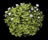 Peony bush isolated on black background — Stock Photo