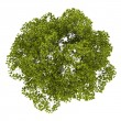 Top view of americbeech tree isolated on white background — Stock Photo #24580159