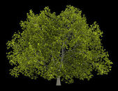 Amerykański Buk drzewo na białym tle na czarnym tle — Zdjęcie stockowe