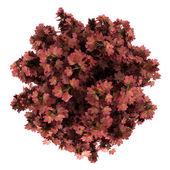 Widok z góry drzewo klon czerwony na białym tle — Zdjęcie stockowe