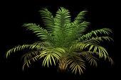 Cukr palmový strom izolovaných na černém pozadí — Stock fotografie