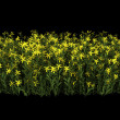 Broom flowers isolated on black background — Stock Photo