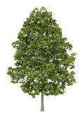 Norway maple tree isolated on white background — Stock Photo