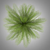 Top view of oil palm tree isolated on gray background — Foto Stock