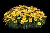 Yellow sneezeweed flowers isolated on black background — Stock Photo