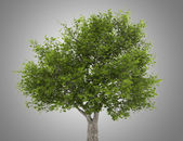 Crack willow tree isolated on gray background — Stock Photo