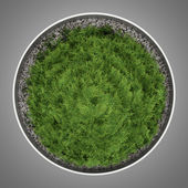 Top view of thuja plant in pot isolated on gray background — Stock Photo