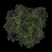 Top view of scots pine tree isolated on black background — Stock Photo