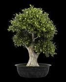 бонсай растение в горшок, изолированные на черном фоне — Стоковое фото