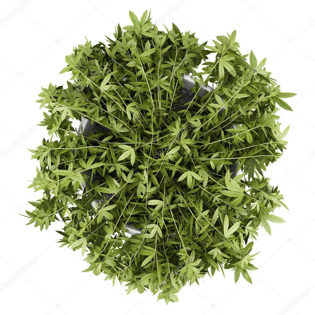 vue de dessus d 39 une plante grimpante d corative en pot. Black Bedroom Furniture Sets. Home Design Ideas