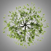 Top view of willow tree isolated on gray background — Stock Photo