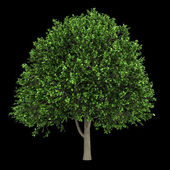 American elm tree isolated on black background — Stock Photo