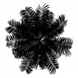 Top view silhouette of areca palm tree isolated on white backgro — Stockfoto