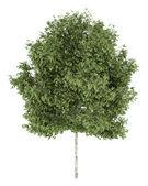 Hänge-birkenbaum isoliert auf weißem hintergrund — Stockfoto