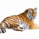 Gorgeous Sumatran tiger — Stock Photo #1819637