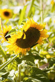 Girassóis amarelos — Foto Stock