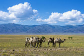 Landscape with camels — Stock Photo