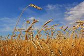 пшеничное поле — Стоковое фото