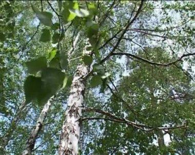 Birches — Stock Video
