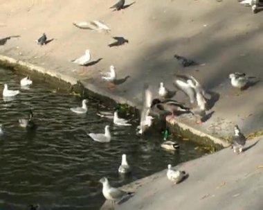 Birds at pond — Stock Video