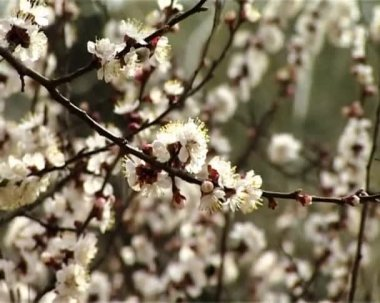 Blossom apricot — Stock Video