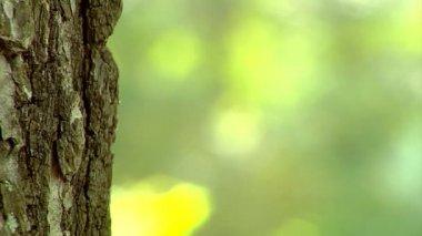 Close-up tronco di pioppo — Video Stock
