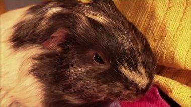 Guinea pig — Stock Video