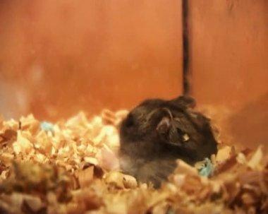 Little hamster — Stock Video