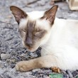 Siamese oriental cat — Stockfoto