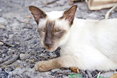 Siamese oriental cat — Stock Photo