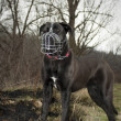 Cane corso with dog muzzles — Stock Photo #41793559
