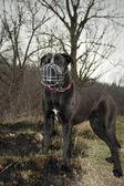 Cane corso with a dog muzzles — Photo