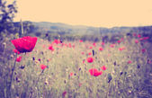 Poppy flower — Photo
