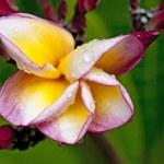 Hibiscus — Stok fotoğraf #10380871