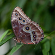 Blue Morpho — Stock Photo #35820343